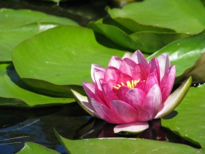 BT072211 Water Lily; also BT072112
