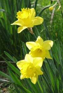 Best Tweets 040612 Daffodils