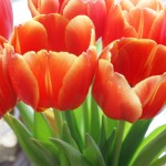Best Tweets 041312 Tulips
